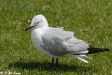Gull (DSC_5458)