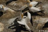 Gannets (DSC_6642)