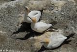Gannets (DSC_6620)