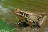 Frog (DSC_9382)