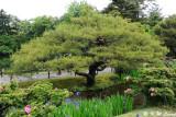 Karasakinomatsu Pine