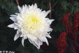 Chrysanthemum 01