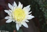 Chrysanthemum 03