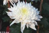 Chrysanthemum 04