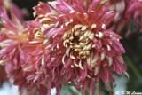 Chrysanthemum 08