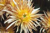 Chrysanthemum 09