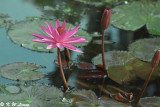 Water Lily 32
