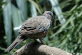 Spotted Dove 01
