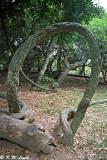 Derris trifoliata