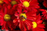 Chrysanthemum 22