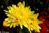 Chrysanthemum 21