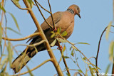 Spotted Dove 02