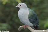 Green Imperial Pigeon (綠皇鳩)