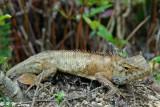 Changeable Lizard 02