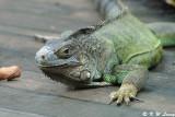 Common Green Iguana 01