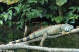 Common Green Iguana 02
