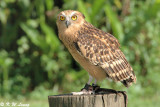 Malay Fish Owl 01
