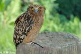 Malay Fish Owl 03