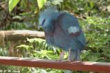 Crowned Pigeon 01