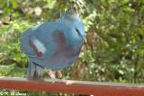 Crowned Pigeon 02