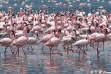 Flamingos (DSC_7969)