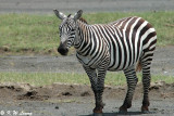 Zebra (DSC_8049)