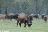 Buffalo (DSC_8034)