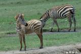 Zebra (DSC_8053)