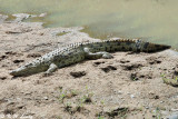 Nile Crocodile 01