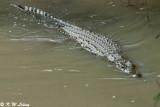 Nile Crocodile 02