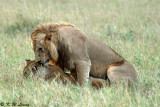 Another lion couple - Mating 01