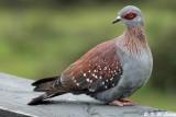 African Rock Pigeon 01