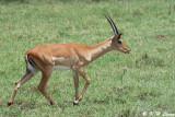Impala (DSC_8082)