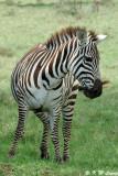 Zebra (DSC_8085)