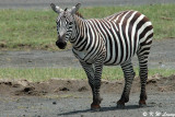Zebra (DSC_8048)