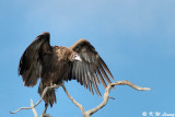 White-headed Vulture (白頭禿鷲)