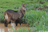 Waterbuck (DSC_7897)