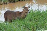 Waterbuck (DSC_7892)