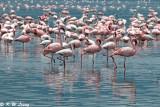 Flamingos (DSC_8002)