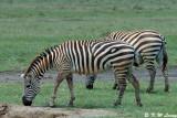 Zebra (DSC_8056)