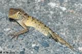 Changeable Lizard 05