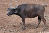 Buffalo (DSC_7856)