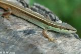 Striped Grass Lizard