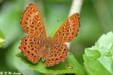 Riodininae (蜆蝶)