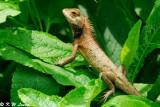 Changeable Lizard 09