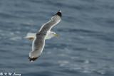 Gull (DSC_1753)