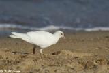 Albino Pigeon 01