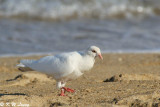 Albino Pigeon 02