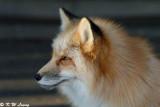 Fox (DSC_9439)