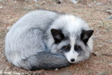 Fox (DSC_9411)